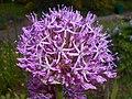 Allium aflatunense 2016-05-17 0724.jpg
