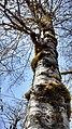 Alnus rubra (Red alder) with moss and lichen - Flickr - brewbooks.jpg