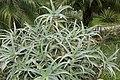 Aloe arborescens 6zz.jpg