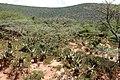 Aloe mudenensis (Asphodelaceae-Xanthorrhoeaceae) (27157692811).jpg