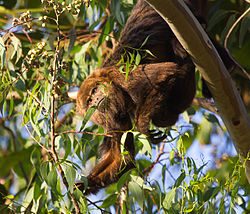 Alouatta guariba clamitans Female.jpg