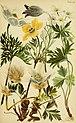 Alpenflora; die verbreitetsten Alpenpflanzen von Bayern, Österreich und der Schweiz (1922) (17923202089).jpg