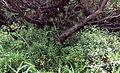 Alpines Biotop Listera cordata.jpg