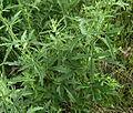 Althaea cannabina 5 juny.JPG
