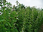 Althaea officinalis 001.JPG