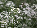Alyssum or Lobularia maritima from Lalbagh flower show Aug 2013 8196.JPG