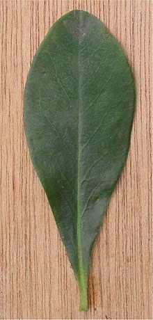 external image 220px-Amandelwolfsmelk_blad_Euphorbia_amygdaloides.jpg