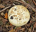 Amanita citrina False Death Cap (46154882312).jpg