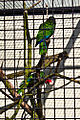 Amazona leucocephala -aviary -two-8a.jpg