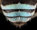 Amegilla, m, abdomen close, india 2014-06-18-16.46.27 ZS PMax (14477837233).jpg