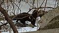 American Mink (Neovison vison) - Cambridge, Ontario 2019-02-09 (02).jpg