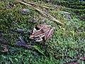 Amphibian southern leopard frog Goose Creek State Park Kristie Gianopulos (67).jpg