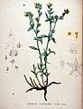 Amsinckia lycopsioides — Flora Batava — Volume v20.jpg
