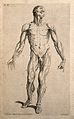 An écorché figure seen from the front. Line engraving by J. Wellcome V0008022ER.jpg