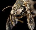 Ancyloscelis apiformis, m, paraguay, face 2014-08-08-09.52.55 ZS PMax (15046500892).jpg