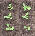 Andijvie (Cichorium endivia).jpg