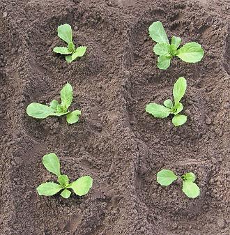 Cichorium endivia - Image: Andijvie (Cichorium endivia)