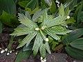 Anemone canadensis 2016-05-17 0674.jpg