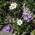 Anemone narcissiflora and Primula cuneifolia var. hakusanensis.jpg