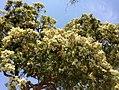 Angophora floribunda - inflorescence 02.jpg