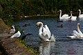 Angry Swan (2723044593).jpg
