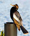 Anhinga at Sunrise - Viera Wetlands - Flickr - Andrea Westmoreland.jpg