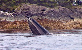 Rorqual - Humpback feeding on young pollock off Alaska