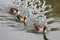Anser anser -Norfolk, England -swimming-8.jpg