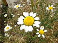 Anthemis arvensis.003 - Ponferrada.jpg