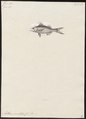 Anthias oculatus - - Print - Iconographia Zoologica - Special Collections University of Amsterdam - UBA01 IZ12900143.tif