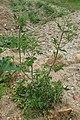 Anthriscus sylvestris subsp. nemorosus kz03.jpg