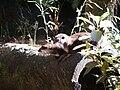 Aonyx cinera in Zoo-003.jpg