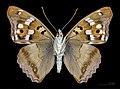 Apatura ilia f. clytie MHNT CUT 2013 3 18 Male compiegne ventral.jpg