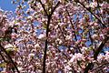 Apple-tree-flowers-spring - West Virginia - ForestWander.jpg