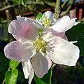 Apple blossom - Flickr - Stiller Beobachter.jpg