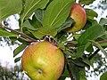 Apple tree Oulu 20040828.jpg