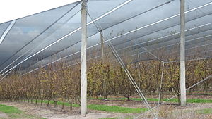 Amiens, Queensland - Image: Apple trees under netting to protect them from hail, Amiens, 2015