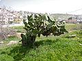 Arab Sabra (6938722927).jpg