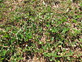 Arachis paraguariensis accession 91419 JCU Townsville 20 years old plot 4886.JPG
