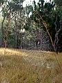 Araignée du matin, Madagascar (25463481624).jpg
