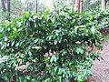 Araku Valley coffee plantations6.jpg
