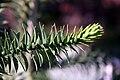 Araucaria araucana 6zz.jpg