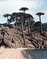 Araucaria araucana playa.jpg