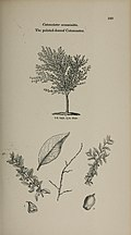 Arboretum et fruticetum britannicum, or - The trees and shrubs of Britain, native and foreign, hardy and half-hardy, pictorially and botanically delineated, and scientifically and popularly described (14597311279).jpg