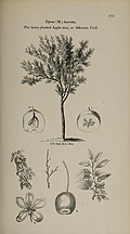 Arboretum et fruticetum britannicum, or - The trees and shrubs of Britain, native and foreign, hardy and half-hardy, pictorially and botanically delineated, and scientifically and popularly described (14597341849).jpg