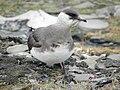 Arctic Skua (Stercorarius parasiticus).jpg