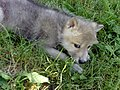 Arctic Wolf in Ontario - panoramio (1).jpg