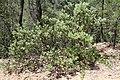 Arctostaphalos pungens (Ericaceae) (24937091821).jpg