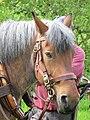 Ardennes horse head.jpg