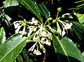 Ardisia crenata - Bloedel Floral Conservatory, Queen Elizabeth Park - Vancouver, Canada - DSC07515.JPG